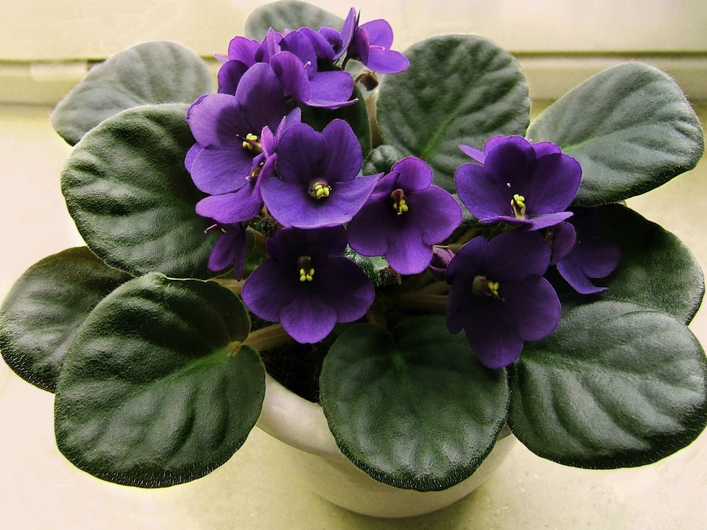 flowers houseplantsno comments african violet or saintpaulia - Low Light Flowering House Plants