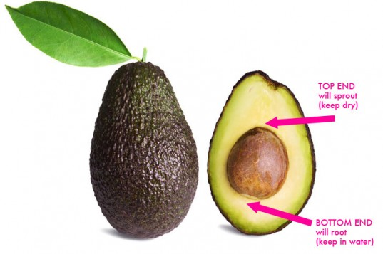 RE: Is it possible to grow an avocado from its stone?