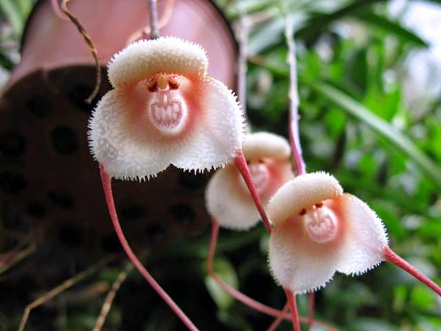 Monkey Face Orchid - Dracula Simia