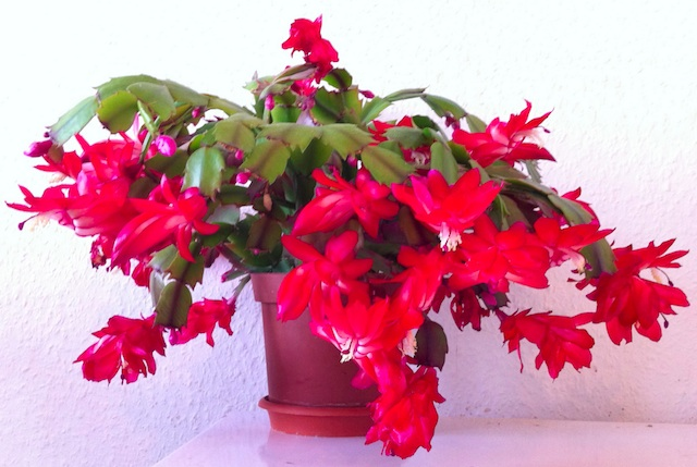 christmas cacti or schlumbergera - Low Light Flowering House Plants