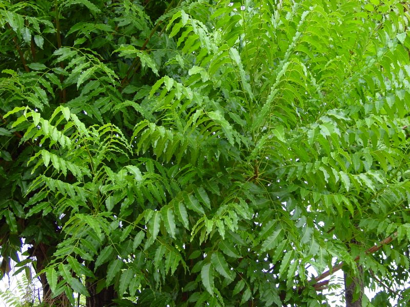Is it possible to grow a Neem Tree in Europe?