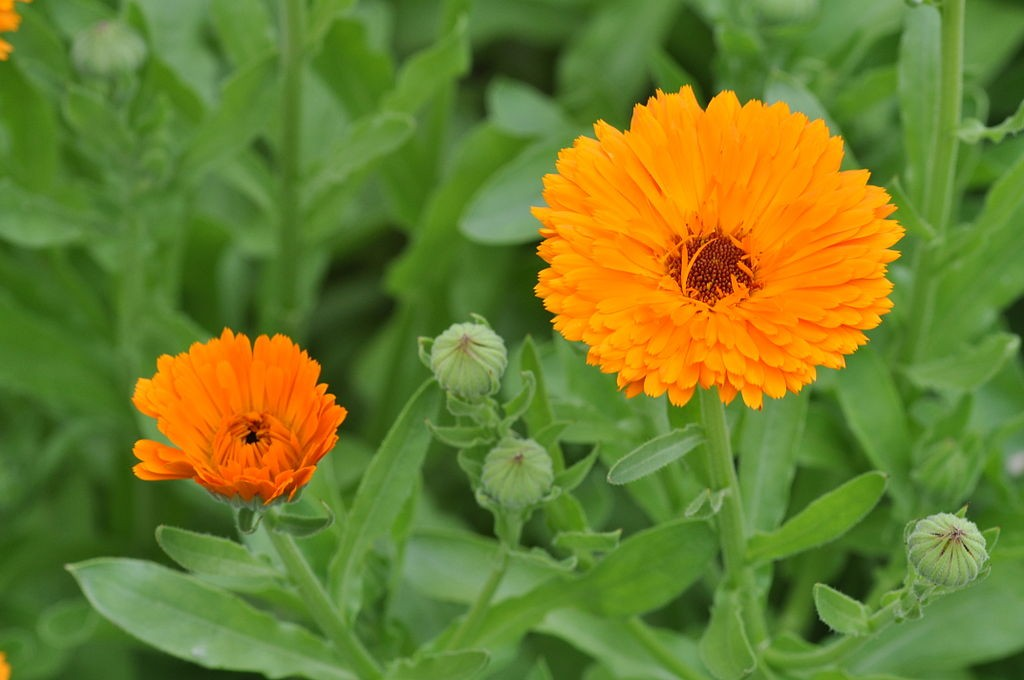 Interesting Facts And Uses Of Marigolds Or Calendula