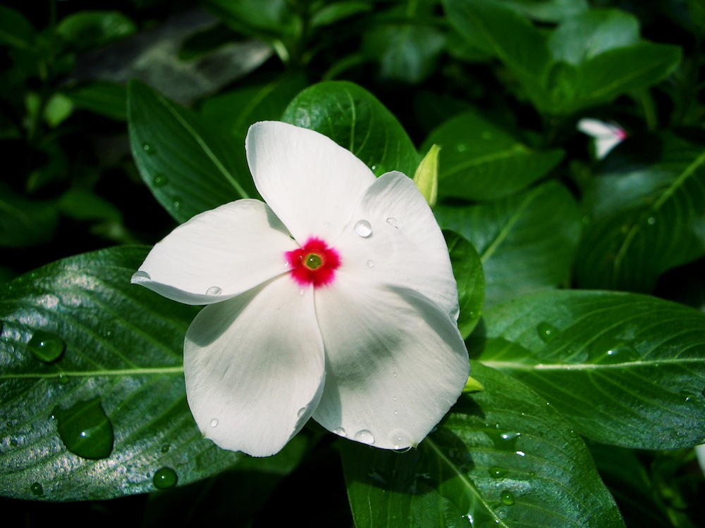 Catharanthus roseus, commonly known as Vinca