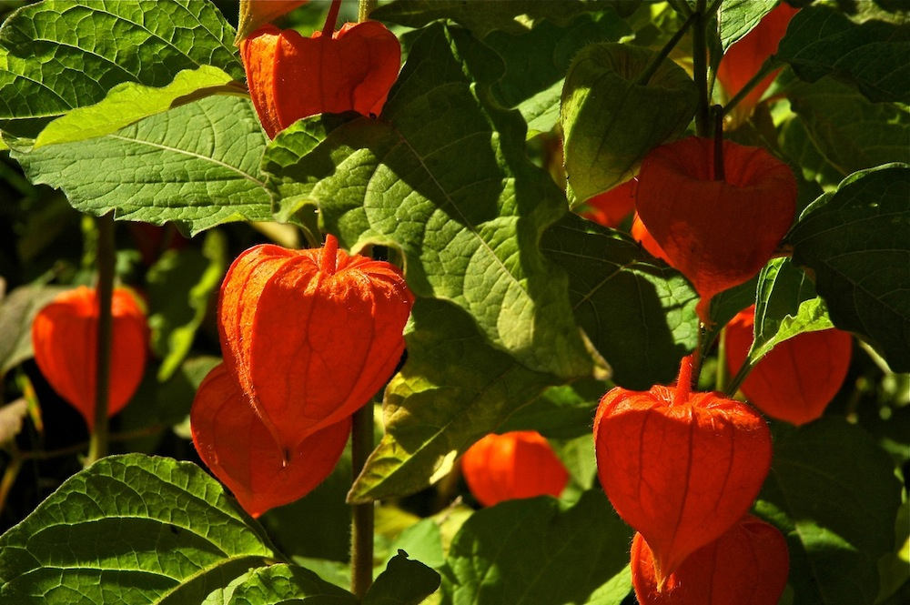 Chinese Lantern Or Physalis