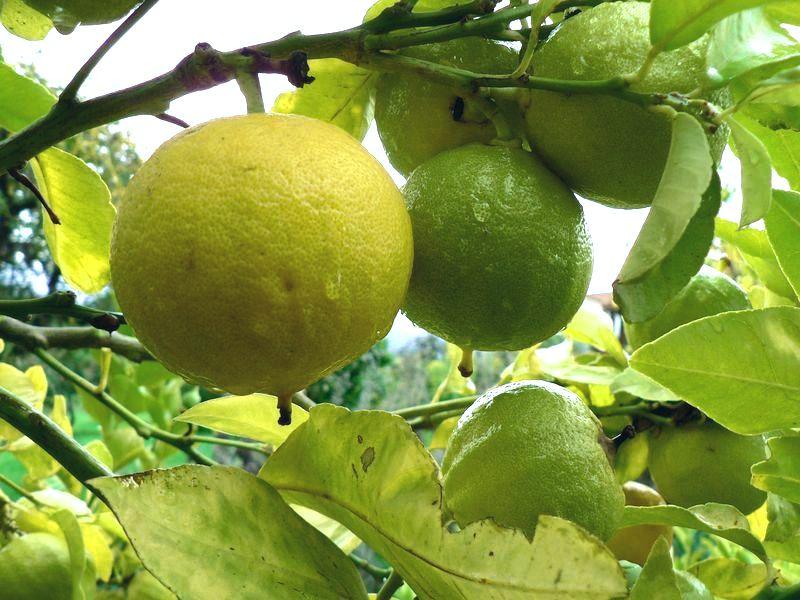 Bergamot or Citrus bergamia