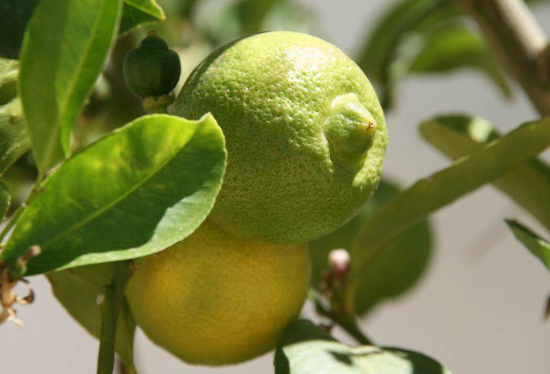 Citrus limetta