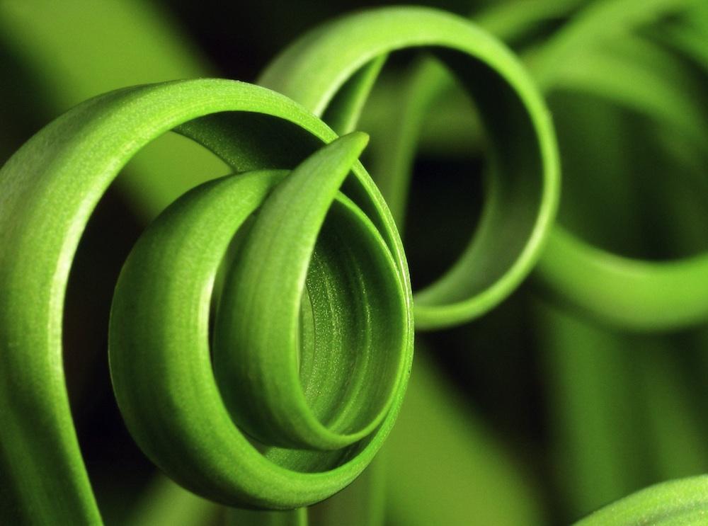 The curly plant moraea tortilis the spiral grass - Plantas de hojas verdes ...