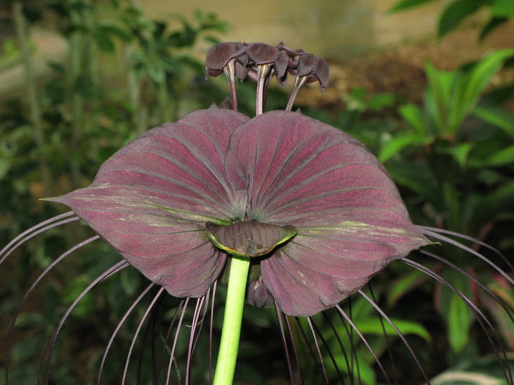 The Black Bat Flower or Tacca Chantrieri