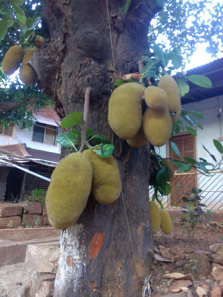 I can't remember the name of this fruit. Please help to identify this tree