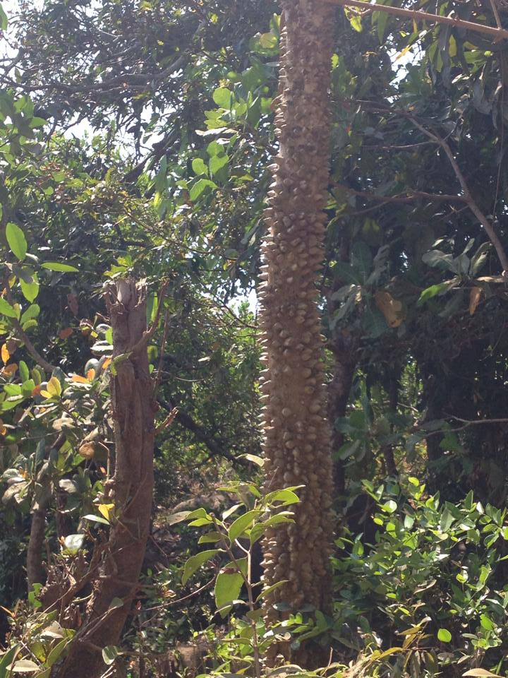 Can you identify this tree with prickles?