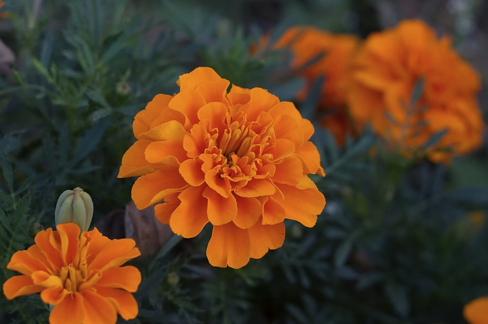 The Difference Between Calendula and French Marigold (Tagetes)