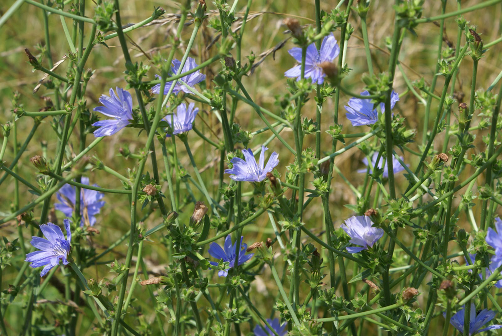 What is Chicory? History And Uses.