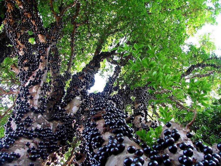 Jabuticaba fruits