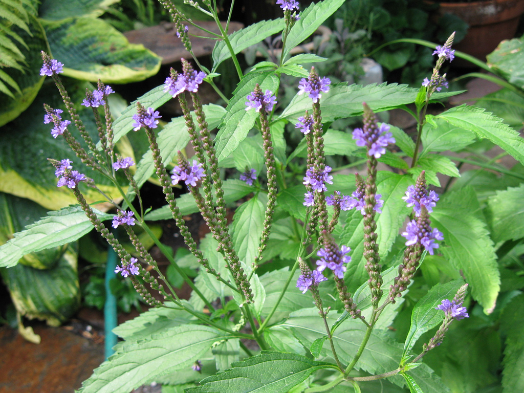Common Vervain - Verbena Officinalis Or A Holy Herb