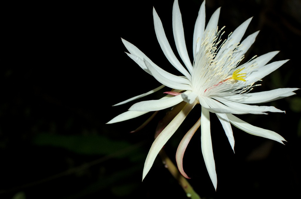 Kadupul or the queen of the night the legendary rare flower kadupul flower with thin petals mightylinksfo
