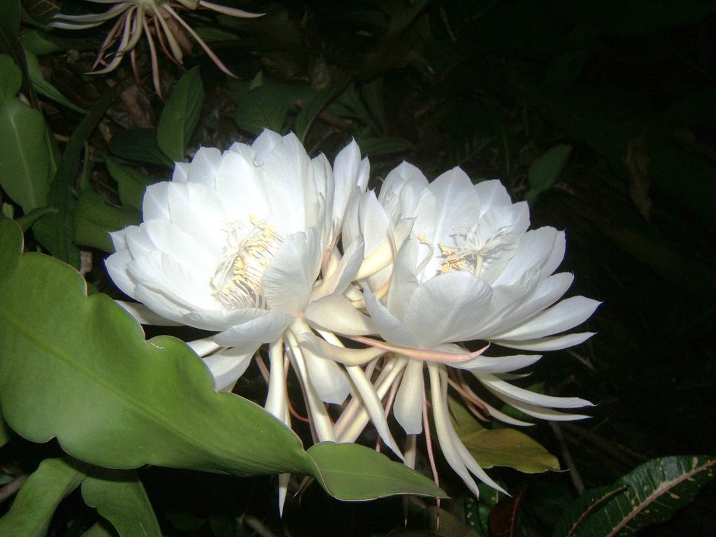 Kadupul flower Kadupul flower with broad petals