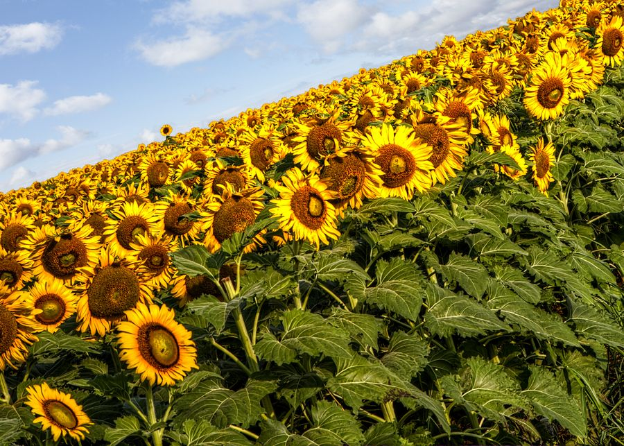 Sunflowers by Donnie Nunley