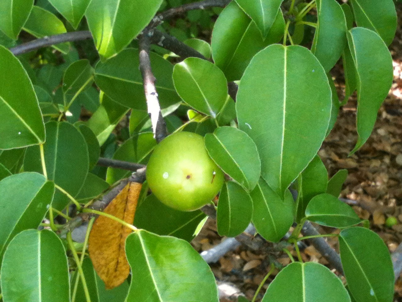 manchineel poison fruit