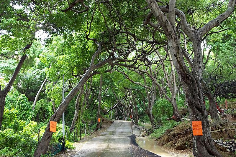 Manchineel poison tree