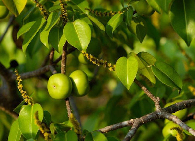 Manchineel tree fruit