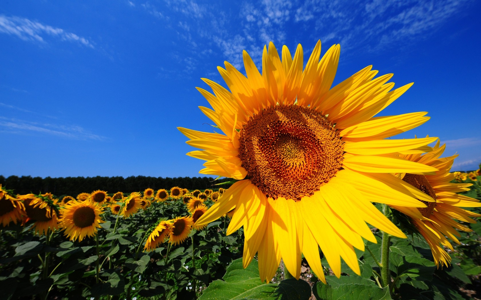 Magnificent Sunflower Fields And Interesting Facts About Sunflowers