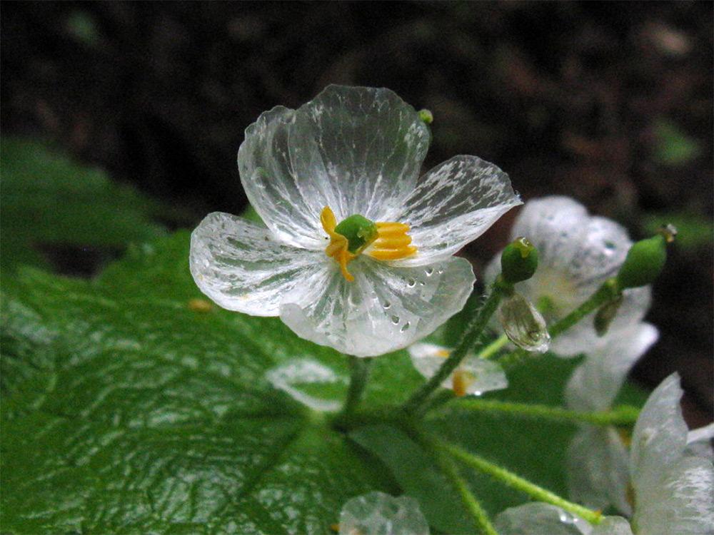 Diphylleia grayi or a Skeleton Flower