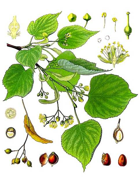 Tilia or Linden Tree