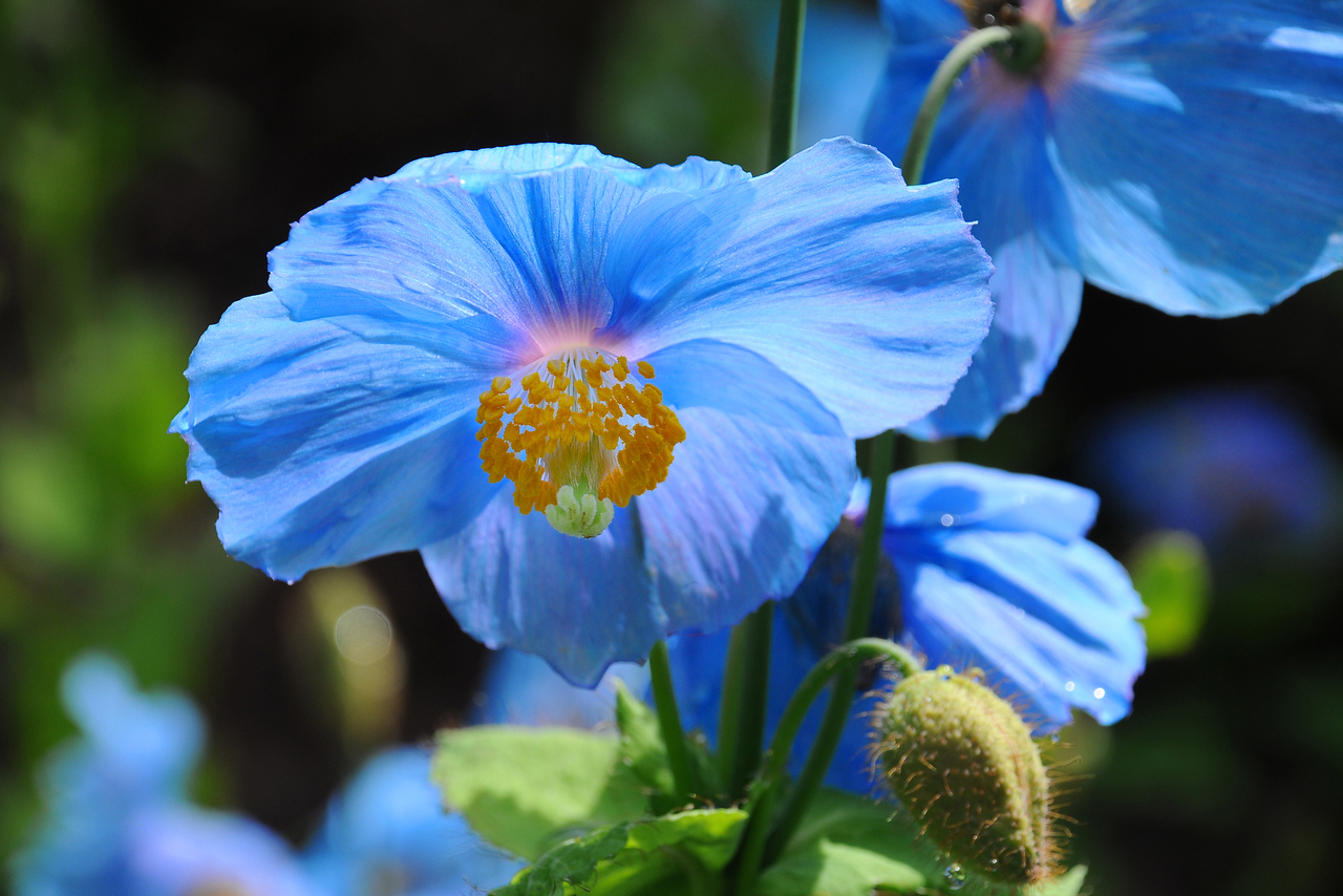 Himalayan Blue Poppy Or Tibetan Blue Poppy Snaplant