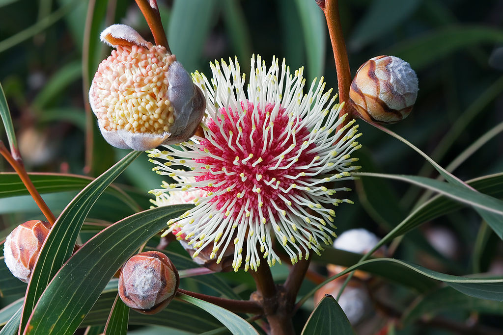 Hakea laurina - Australian Beauty - Pincushion Hakea