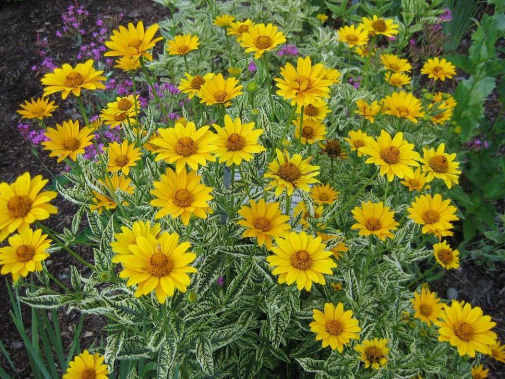 Heliopsis - Perennial Sunflower