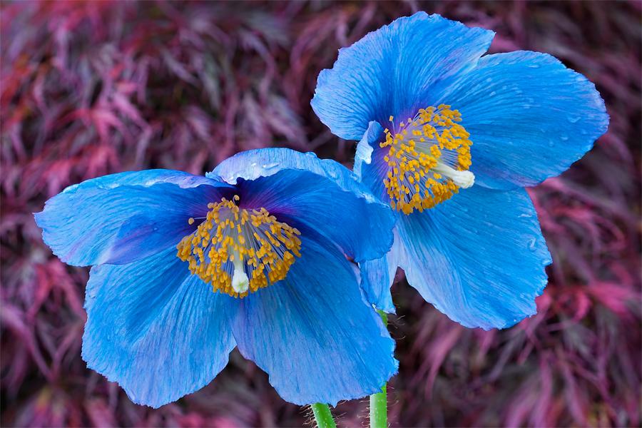 Himalayan blue poppy or tibetan blue poppy snaplant meconopsis mightylinksfo
