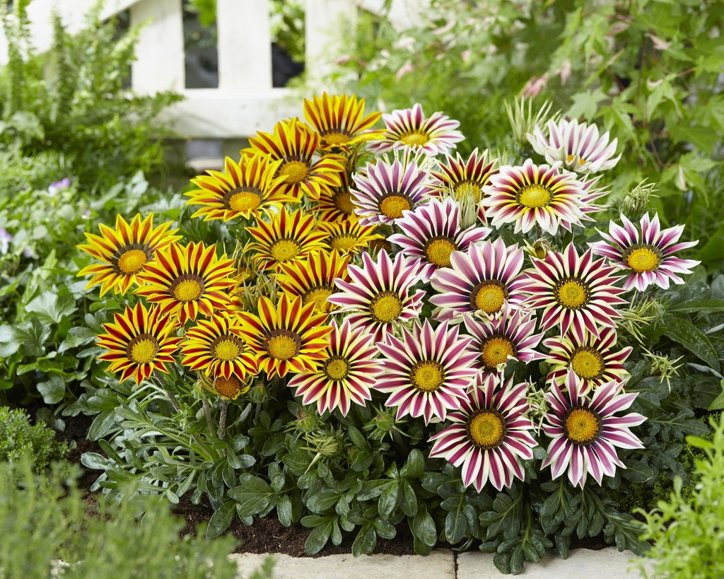 Gazania or Treasure Flower