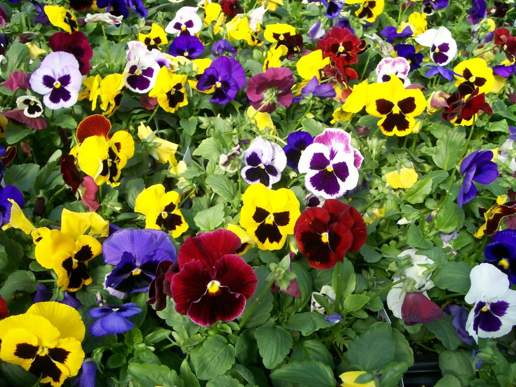 Cool season flowers for your fall garden for Flowering landscape plants