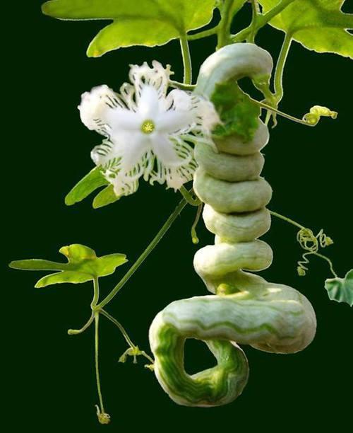 snake gourd plant