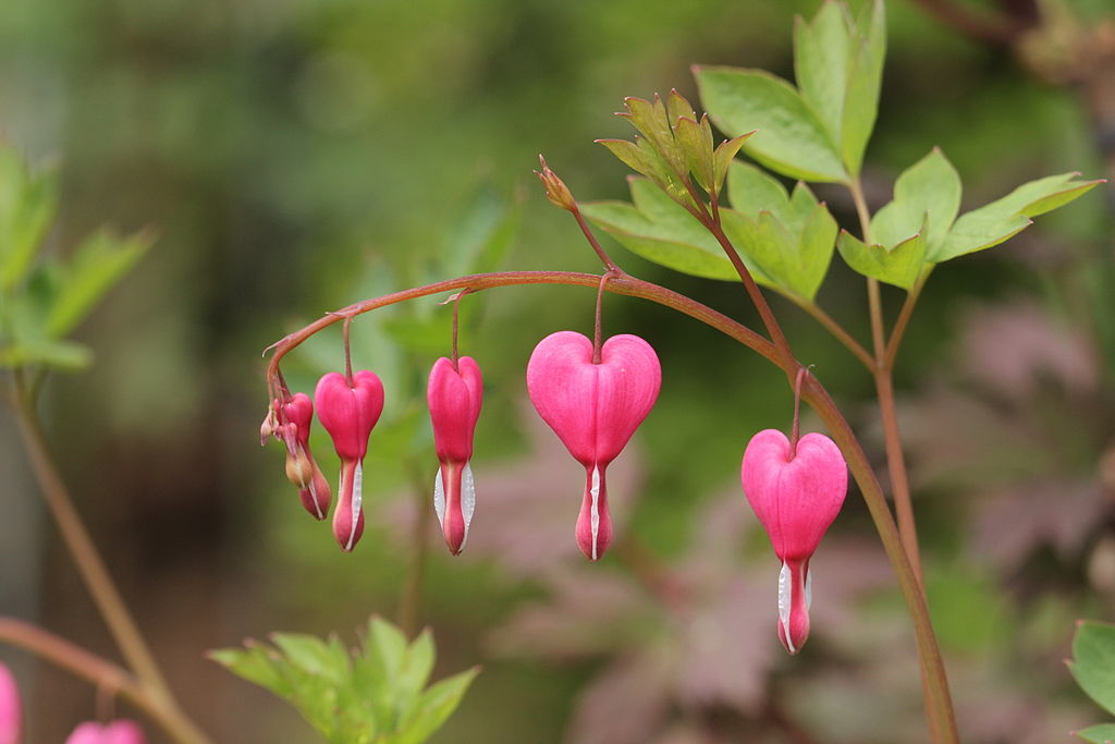 Lamprocapnos Spectabilis Or The Bleeding Heart