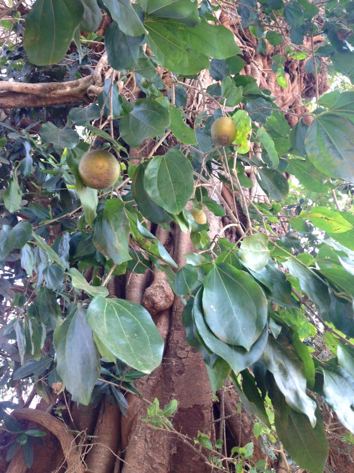 What is the name of this brown fruit from India?