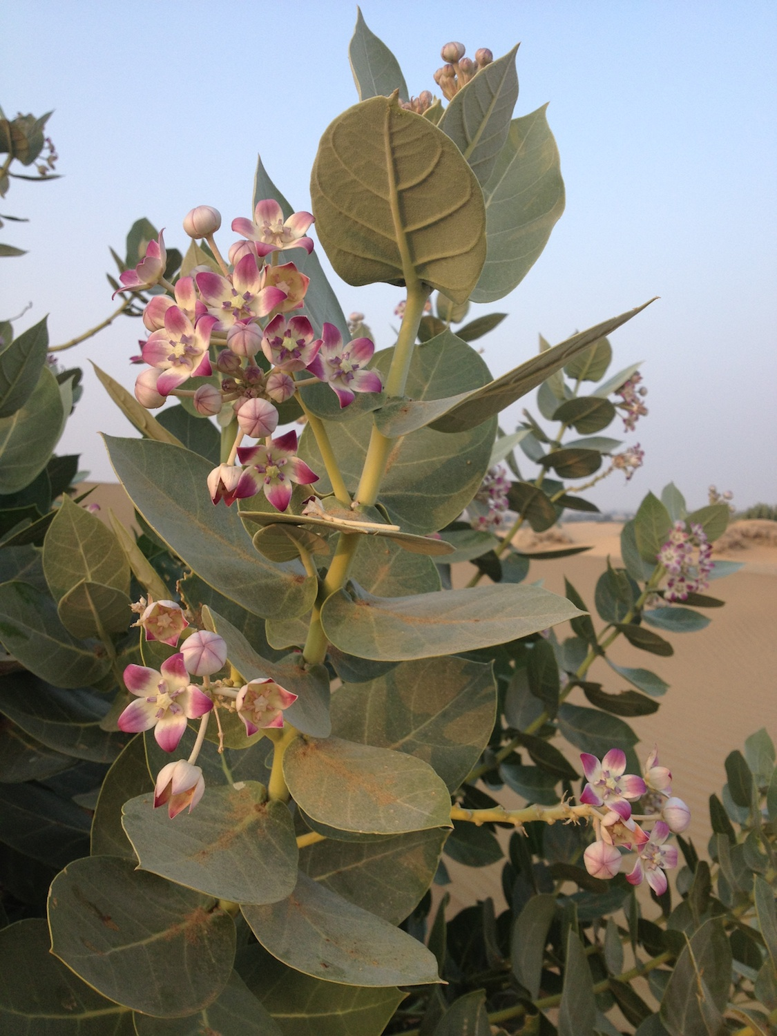 Can you identify this bush with nice waxy flowers in Thar desert?