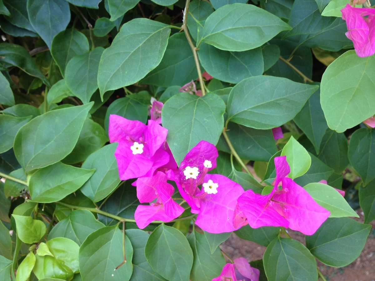 What is the name of this bush with pink flowers snaplant what is the name of this bush with pink flowers mightylinksfo