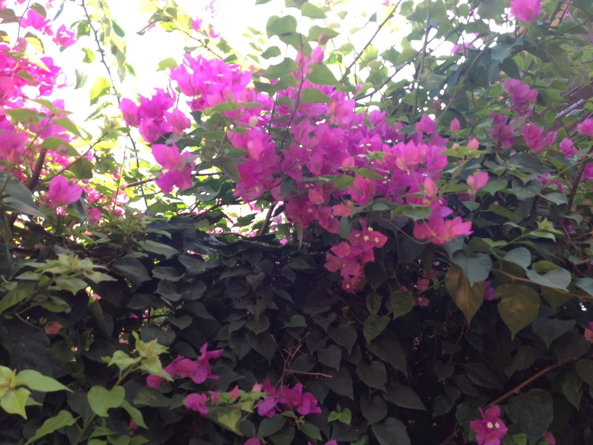 What Is The Name Of This Bush With Pink Flowers