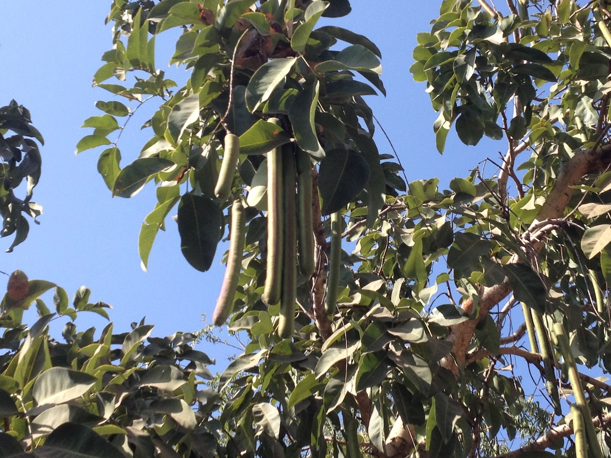 What is this tree with long fruits or pods?