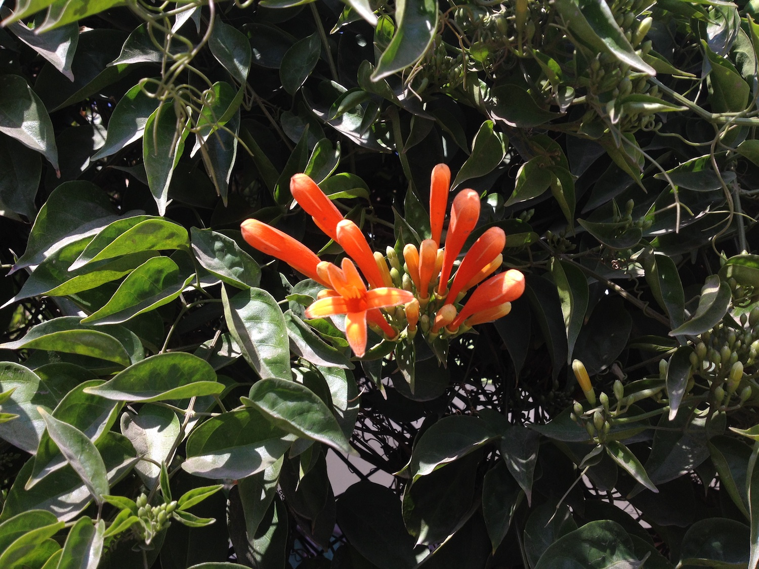 What is this plant with orange flowers like a baseball-bat?