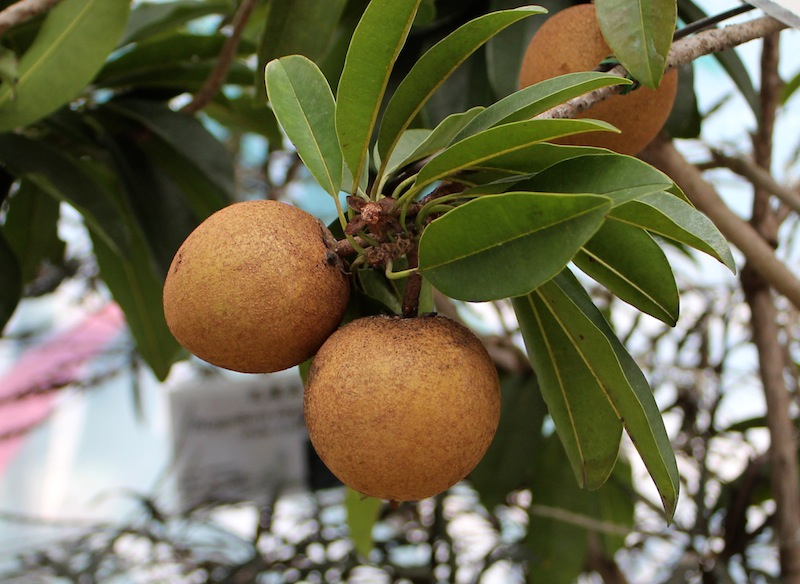RE: What is the name of this brown fruit from India?