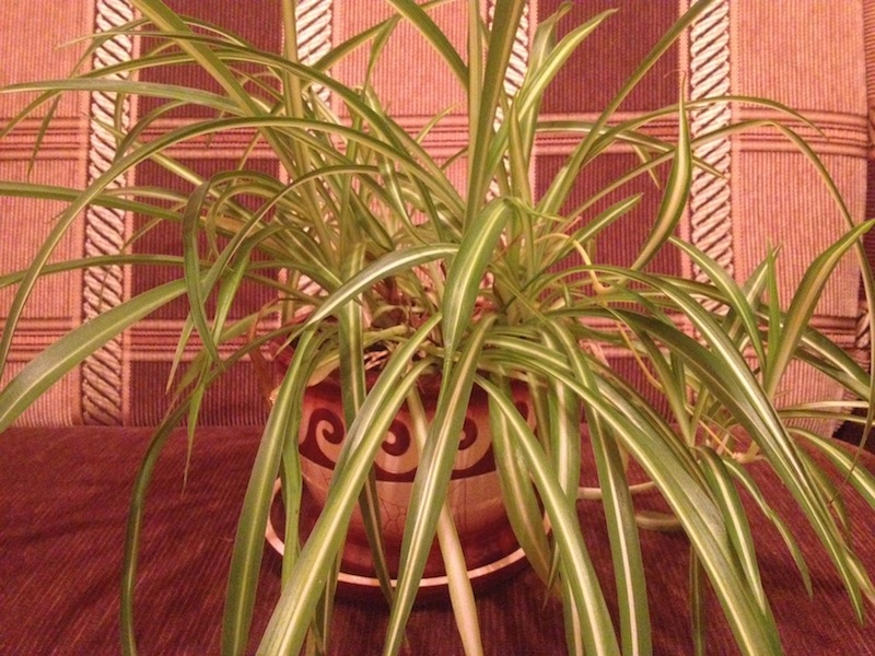 Does your cat like to eat a Spider Plant? Is it poisonous for pets?