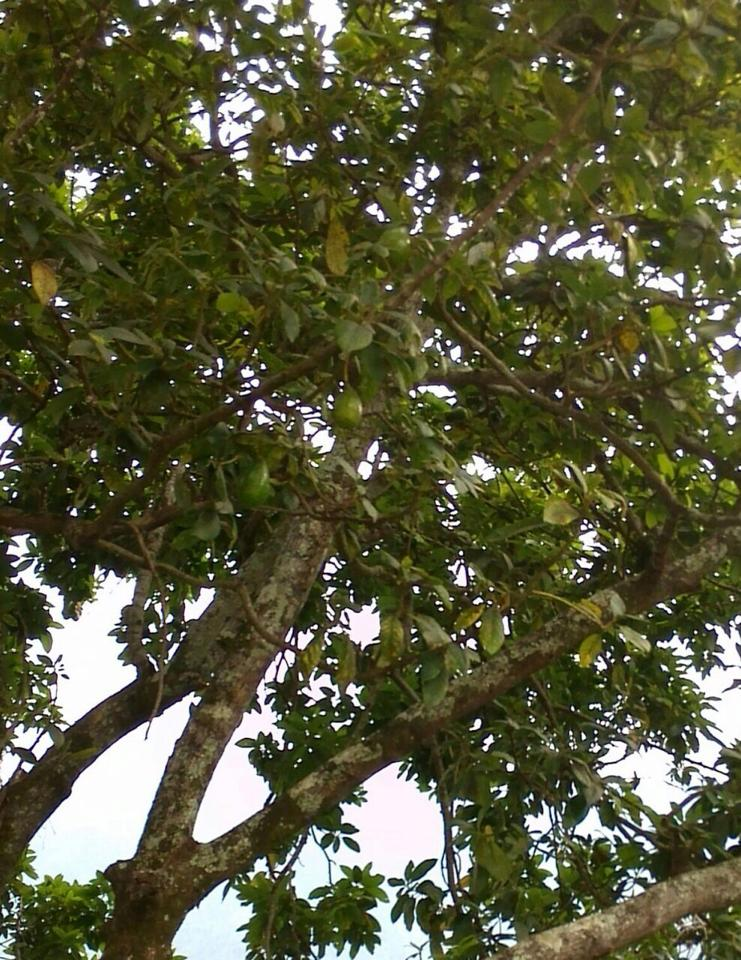 Do you know the name of this tree? Edible fruits or not?