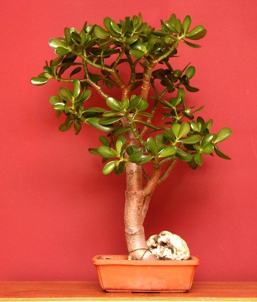 Crassula Ovata Or Jade Plant