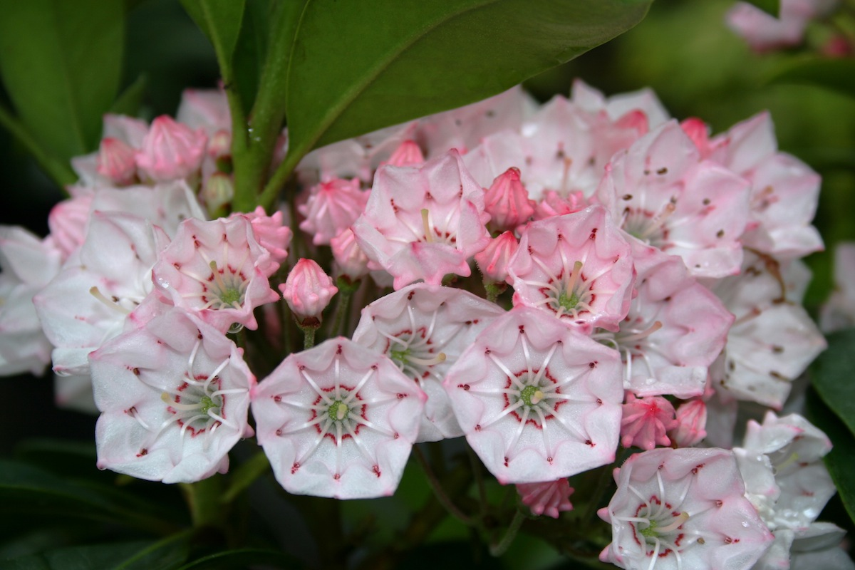 Kalmia Latifolia Mountain Laurel A Plant With Tender Flowers