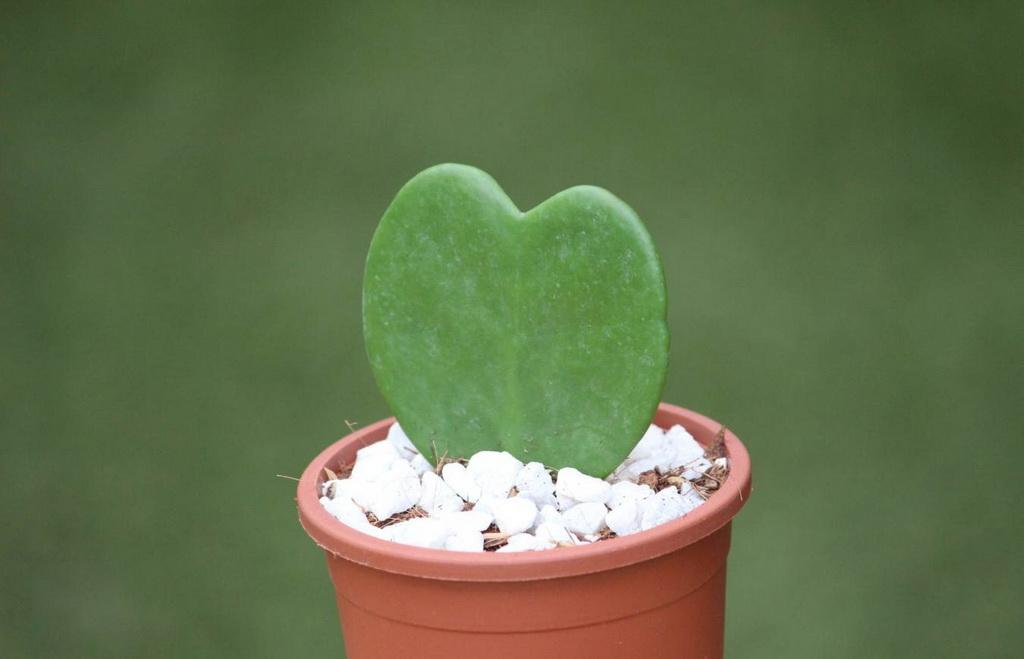 Hoya Kerrii - Sweetheart Plant Or Valentine Hoya