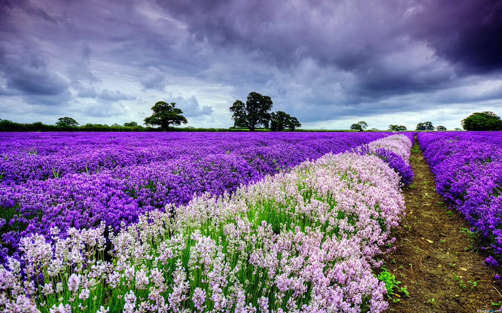 Main Types of Lavender For Your Garden