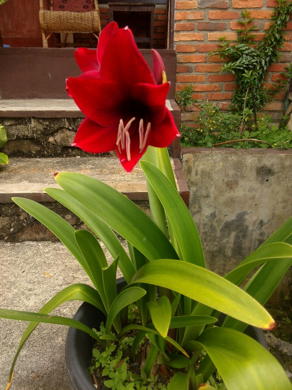Is this a lily or bromeliad?
