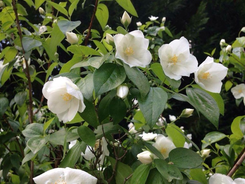 Can you identify this shrub with white tender flowers?